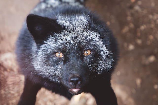 black fox in london garden