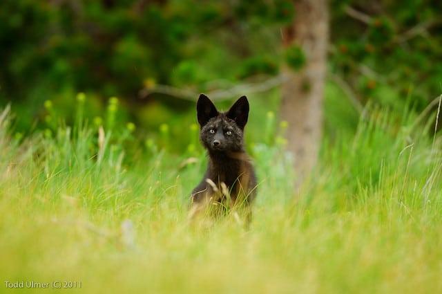 black fox uk