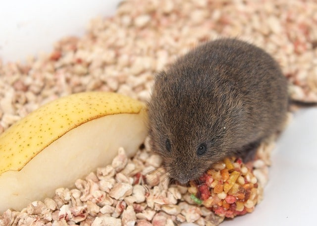 mouse in food