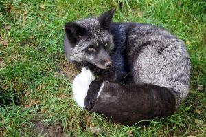 sleeping black fox