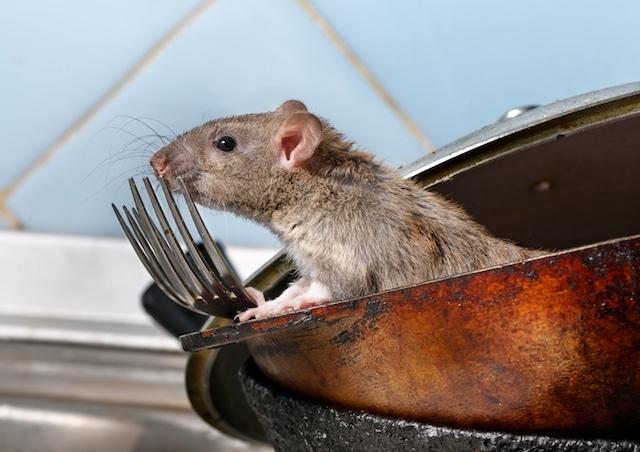 rat in london kitchen