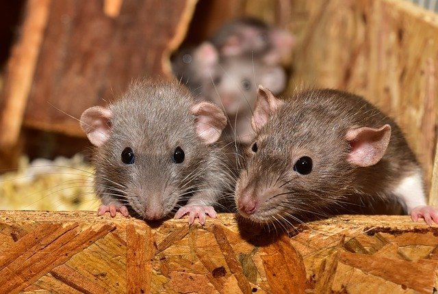 rats in a london house