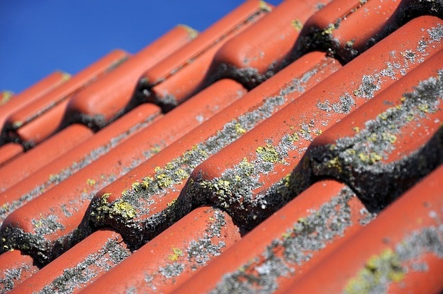 black rats get into roof