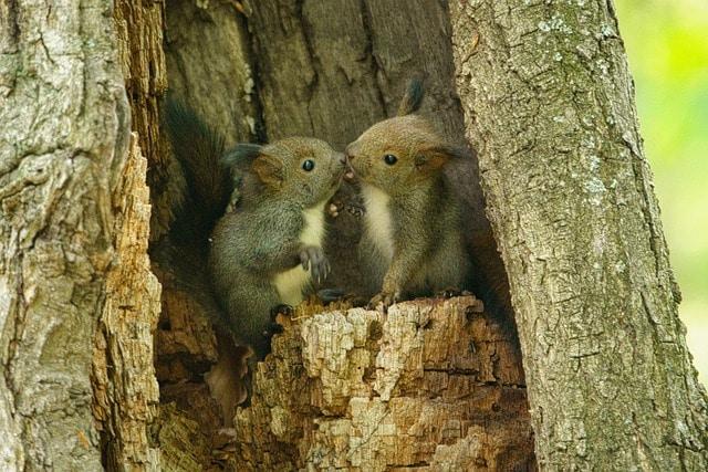squirrels nest