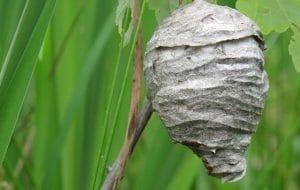 wasp nest im london garden