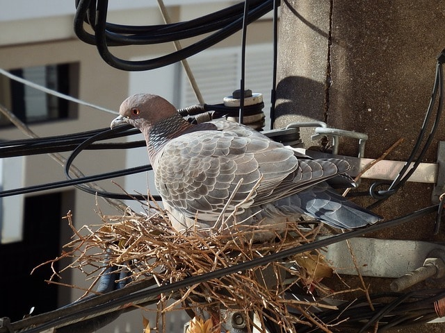 pigeons nest in london business