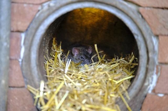 rat hiding in drain pipe