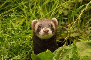 ferret in london undergrowth